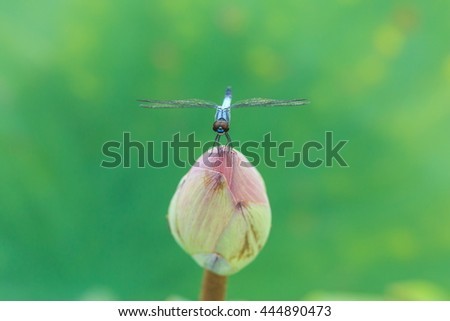 Dragonfly,dragonfly on a lotus,insect - stock photo