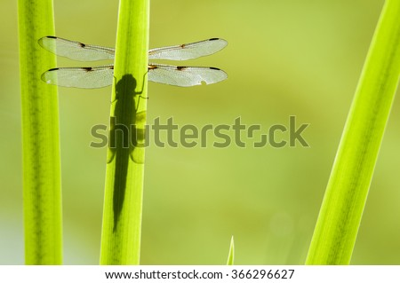 dragonfly illuminated from the sun - casting a cloud over the leaf - stock photo