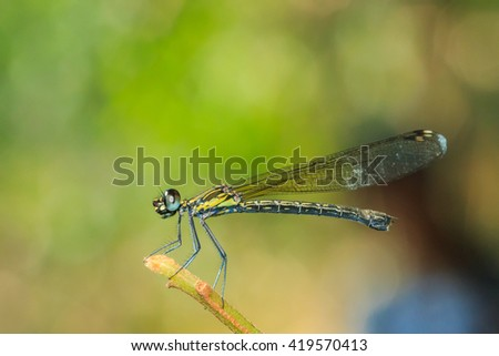 Dragonfly in Thailand  (Chaeson National Park). Damselfly,Dragonfly,insect,bug,nature. - stock photo