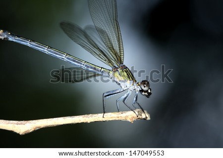 Dragonfly on branch - stock photo