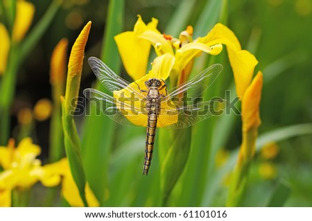 Dragonfly on the yellow flowers - stock photo