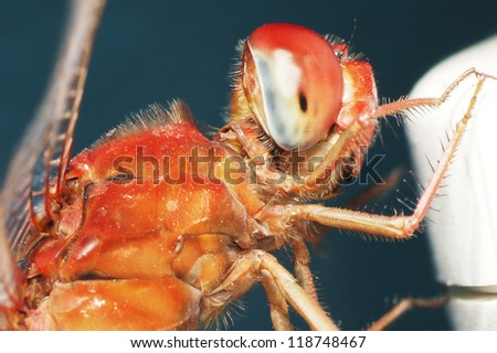 Dragonfly - red - stock photo