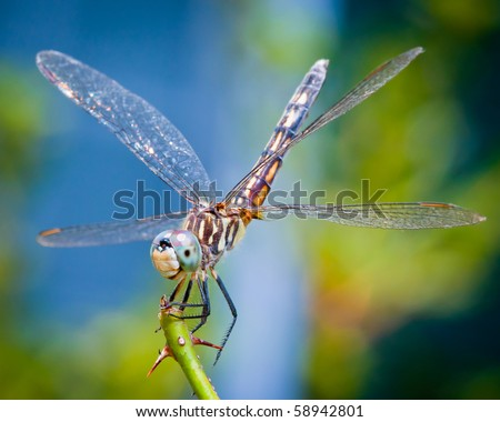 Dragonfly spreads wings - stock photo