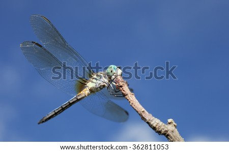 Dragonfly with blue eyes on the top of a stick - stock photo