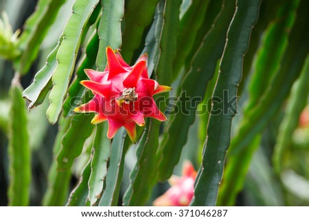 Dragonfruit, a fruit with white flesh with black seeds inside - stock photo