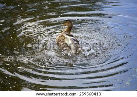 Drake in the river, in splashes - stock photo