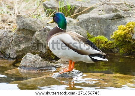 Drake standing on a rock sticking out of the water. - stock photo