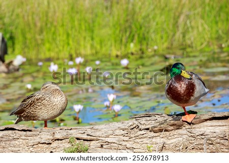 Drake with the green head and a wild duck standing on a log on a pond with water lilies - stock photo