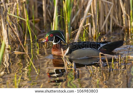 Drake Wood Duck - stock photo
