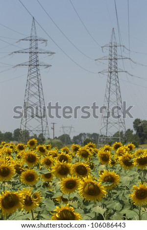 DRAMA, GREECE - JUNE , 24 : a field of biofuels sunflowers with background power pillars on June , 2012 in Drama, Greece. - stock photo