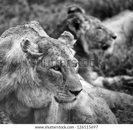 Dramatic Black and White Portrait of Lions in the Serengeti Tanzania Africa - stock photo