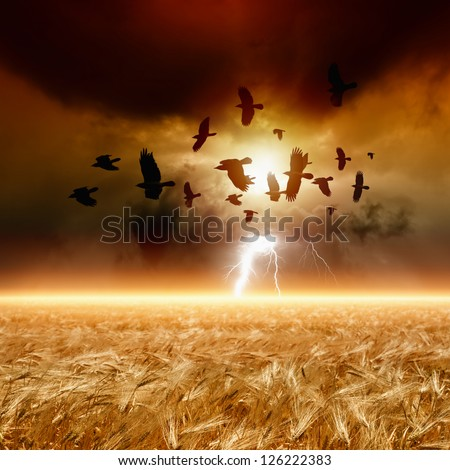 Dramatic nature background - ripe wheat field, dark red sunset, glowing horizon, flock of flying ravens, crows in dark sky with lightning. - stock photo