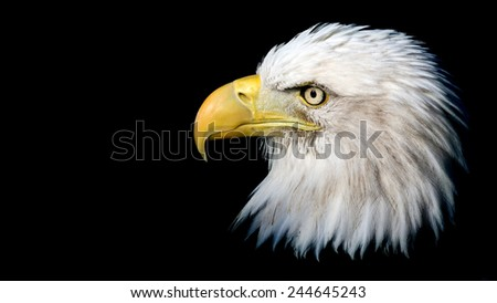 dramatic portrait of a Bald Eagle isolated against a black background with room for text - stock photo