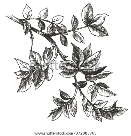 Drawing of rose leaves  - stock photo