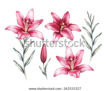 Drawings of lily flowers - stock photo