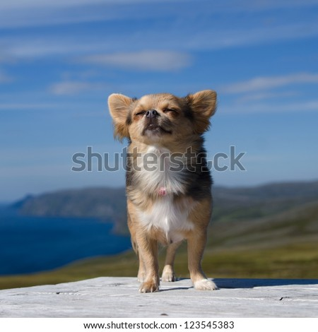 Dreaming chihuahua breathing fresh air against Northern Norway landscape - stock photo