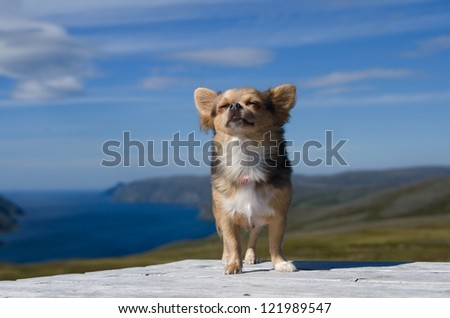 Dreaming chihuahua breathing fresh air against Scandinavian landscape - stock photo