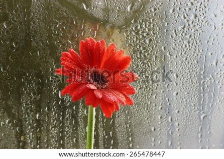 Dreamy composition red Gerbera flower, wet drop window background - stock photo