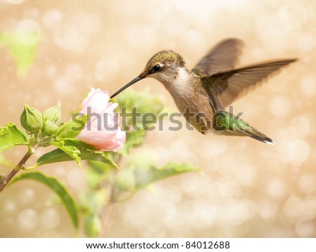 Dreamy image of a young male Hummingbird feeding on a light pink Althea flower - stock photo