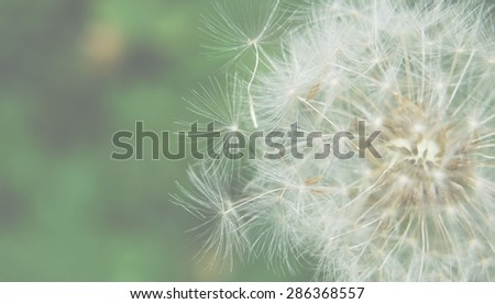 Dreamy image of dandelion seeds - lightened and soft focus effect - stock photo
