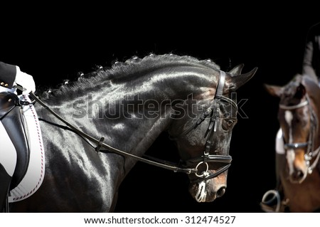 dressage horse before the start of competition isolated on black background - stock photo