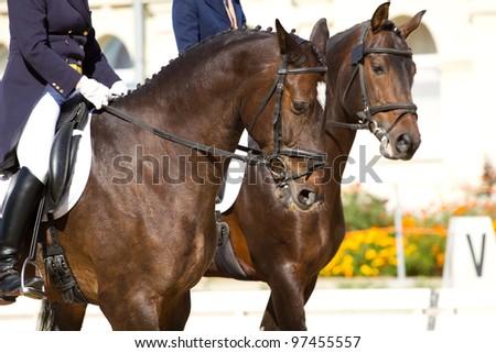 dressage horses and rider - stock photo