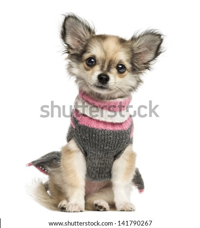 Dressed up Chihuahua puppy sitting, 3 months old, isolated on white - stock photo