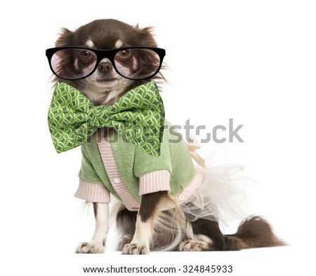 Dressed-up Chihuahua wearing glasses and a bow tie, isolated on white - stock photo