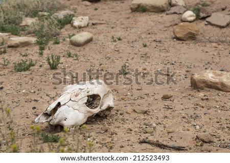 Dried and bleached out cow skull in the desert. - stock photo