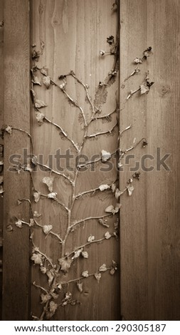 Dried climber ivy, hedera on old wooden board background, vertical - stock photo