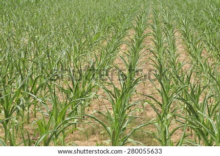 Dried corn field soil drought disaster's farm - stock photo