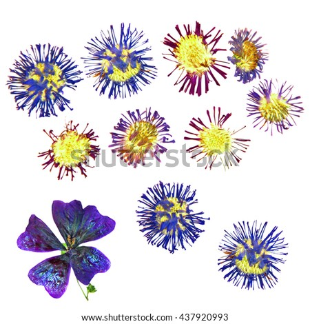 dried cornflower perspective, pressed delicate flowers and petals vivid blue cultivated as ornamentals, arctic alpines, medicinal use, isolated on white scrapbook background - stock photo