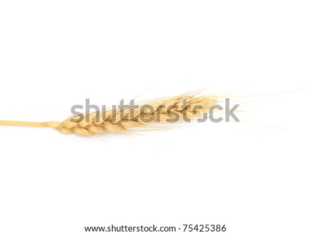 Dried Ear of Cereal crop in studio isolated against white background. - stock photo