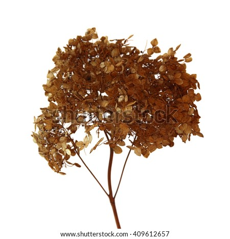 dried fall leaves of hydrangea flowers isolated elements on white  background for scrapbook, object, roughage autumn dry leaf - stock photo