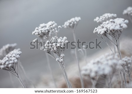 Dried flowers covered with frost. Outdoors, very shallow focus - stock photo