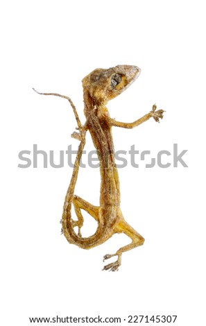 Dried House lizard - gecko isolated on white background,with clipping path. - stock photo