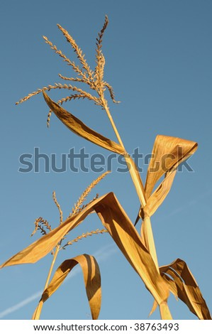 Dried maize plant top on natural sky - stock photo