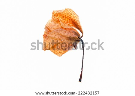Dried orchid flowers on white background. - stock photo