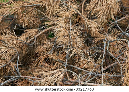 Dried pine branches. background - stock photo