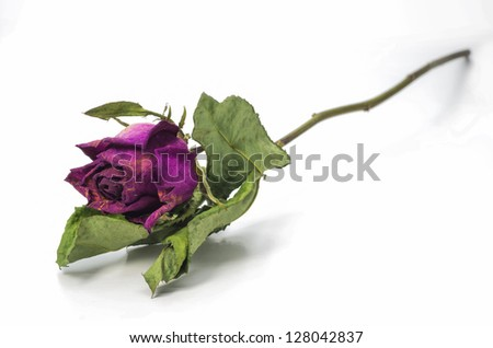 Dried pink roses on a white background. - stock photo