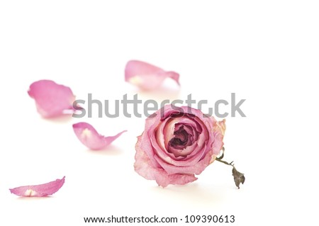 Dried rose isolated on white - stock photo