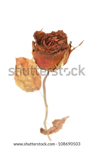 Dried rose isolated on white background - stock photo
