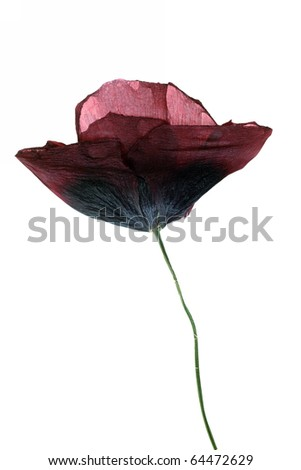 dried Single poppy isolated on white background - stock photo