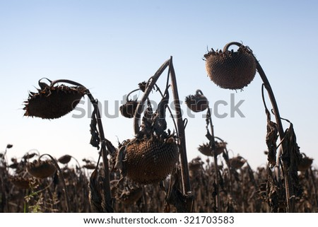 dried sunflowers in a field - stock photo