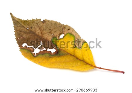 Dried yellowed autumn leaf with holes. Isolated on white background.  - stock photo