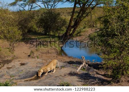 Drinking female lion in Masai Mara National Park, Kenya - stock photo