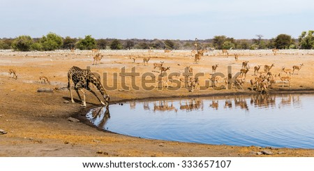 Drinking giraffe and black faced impala herd at Chudop waterhole in Etosha national park, Namibia. Panorama view. - stock photo