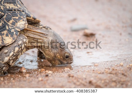 Drinking Leopard tortoise in the Kruger National Park, South Africa. - stock photo