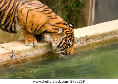 Drinking tiger. - stock photo