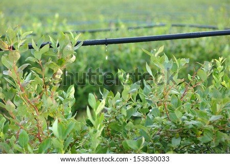 Drip Irrigation System, Blueberry Bushes. Water saving drip irrigation system being used in a Blueberry field.  - stock photo